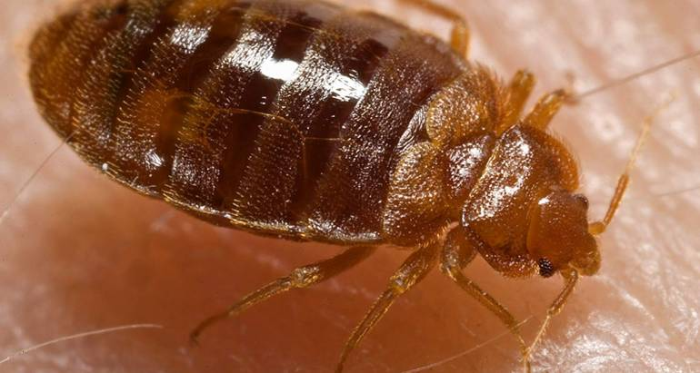 Adult Bed Bugs