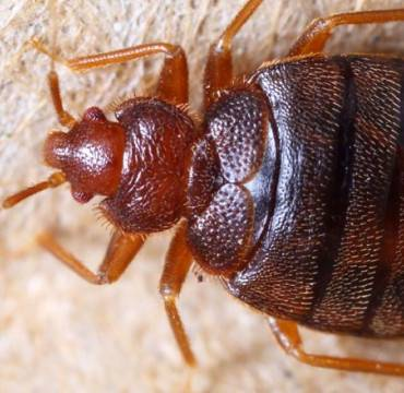 Everything You Need To Know About Bed Bugs